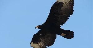 Verreaux's Black Eagle flying high. Author supplied/Megan Murgatroyd
