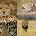 National Geographic Wild's Big Cat Month 2021 features 7 premiere specials highlighting big cats