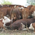 Farmers reminded to vaccinate animals against Rift Valley Fever
