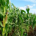 Cyclone Eloise's damage could have implications for South Africa's maize price outlook