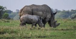 Rhino poaching declines in 2020