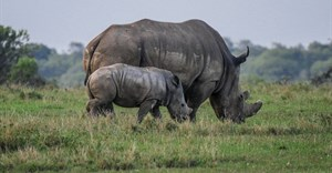 Rhino poaching declines in 2020