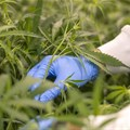 Cheeba Cannabis Academy to host free virtual Craft Cannabis Summit