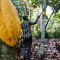 Ivory Coast lost 47,000ha of forest to cocoa production in 2020 - environmental group