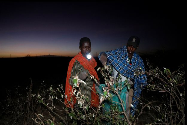 Joseph Mejia, a farmer, holds a flashlight in his mouth while harvesting desert locusts near the town of Rumuruti, Kenya. Reuters/Baz Ratner