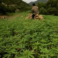 Morocco set to legalise cannabis production for medical use