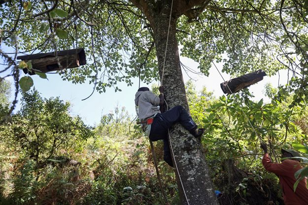 A member of the Ogiek forest inhabitants community climbs a tree to extract honey from beehives, inside the Eburru forest reserve, Kenya. Reuters/Baz Ratner
