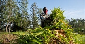 Kenya dairy farmers double income, milk yields with climate-smart fodder grasses