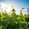 Webinar sheds light on holistic management of grapevines