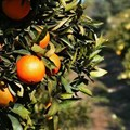 Black citrus growers see 40% increase in production figures