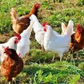Have your say on draft guidelines for the poultry industry