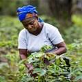 Genetic make-up of destructive crop pest unravelled