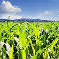 There is room for an upward adjustment of SA maize production estimates