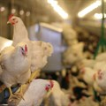 Avian Influenza outbreak confirmed on Ekurhuleni farm