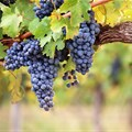 Information sessions to reflect on wine industry status, vineyard trends