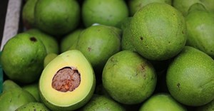 SA avocado sector expected to see uptick in exports