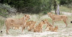 South Africa to clamp down on captive lion breeding, minister says