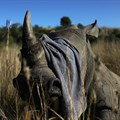 Rhino poachers are back after South Africa eases lockdown restrictions