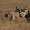 Zimbabwe re-introduces rhinos in Gonarezhou park after three decades