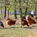 Biosecurity measures can reduce the risk of avian influenza in farmer flocks