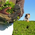 As climate change threatens Kenyan tea, millions of workers seen at risk