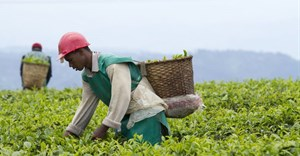 Workers in a tea plantation in Rwanda. The crop is one of the country's main exports