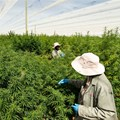 Goodleaf merges with Highlands Investments to create R650m cannabis company