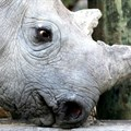 SA researchers hope to deter rhino poachers with radioactive markers