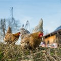 WPF releases training video series for Africa's poultry farmers