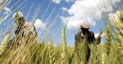 As some farmers hit climate limits, bolder steps needed to survive