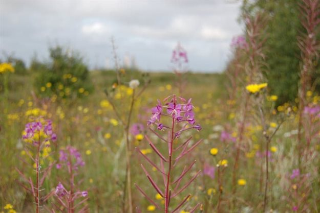 The brownfield 'wasteland' at Canvey Wick, Essex, represents one of the most biodiverse sites in the UK.