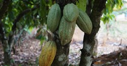 Chocolate fix: How the cocoa industry could end deforestation in WestAfrica