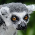 Covid-19 pandemic is affecting conservation efforts inMadagascar
