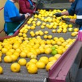Citrus industry rolls out recovery plan amid riots