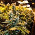 How cannabis production can boost revenue for pandemic-stricken countries
