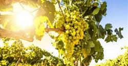 Sauvignon Blanc SA Top 10 open for entry
