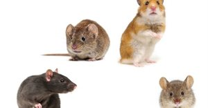 Rodents and the pests they become in urban environments