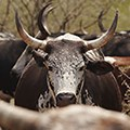 Why UP researchers like rooibos, Nguni cows and 50 000-piece microbial puzzles
