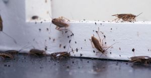 Cockroaches and the effects they can have on your health