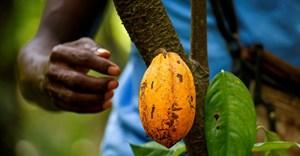 Heavy rains leave Ivory Coast cocoa farmers split on harvest outlook