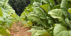 Lessons from Zimbabwe's tobacco farmers for the COP26 climate changetalks